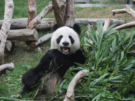 パンダのつがい、夏前にマカオ到着へ=返還15周年「プレゼント」