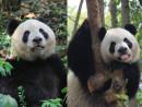 """返還15周年を記念してマカオへ贈呈されるジャイアントパンダのつがい、右がオスの""""新""""カイカイ(ヤーリン)、左がメスの""""新""""シンシン(スーロン)(写真:GSAJ)"""