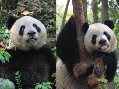 パンダのつがい今月末マカオ到着、先代の名前を継承へ=マカオ返還15周年「プレゼント」