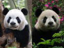 左がオスの「カイカイ(開開)」(7歳)、右がメスの「シンシン(心心)」(資料)=2015年4月(写真:GCS)