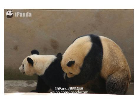 世界初!パンダの交尾をネット生中継=中国のパンダ専門サイトとジャイアントパンダ保護研究センター