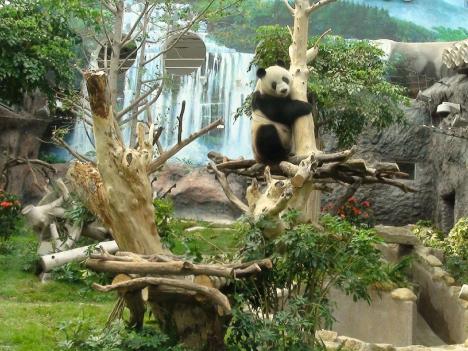 パンダのつがい、展示施設にお引っ越し=6月1日から一般公開、マカオ