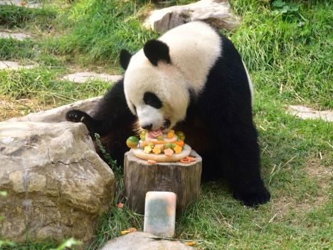 マカオ、メスのパンダ「シンシン」8歳の誕生日=マカオへ引っ越し後初