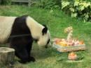 7歳の誕生日を迎えるオスのジャイアントパンダ「カイカイ」と特製バースデーケーキ=マカオジャイアントパンダパビリオン、8月23日(写真:IACM)