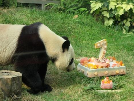 マカオのパンダ「カイカイ」7歳の誕生日=返還15周年で中央政府から贈られたつがいのオス