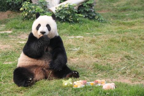 マカオのパンダ、シンシンに妊娠の兆候=マカオ初の2世誕生に期待