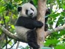 ジャイアントパンダ(写真:MGM China)
