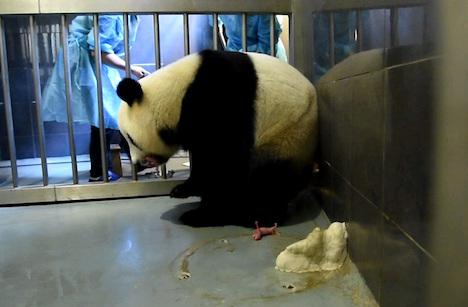 ジャイアントパンダが双子の赤ちゃん出産=マカオ初の2世誕生