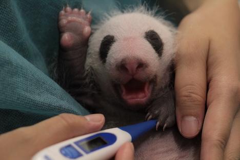 赤ちゃんパンダ「大寶」の体温測定の様子=7月26日、マカオジャイアントパンダパビリオン(写真:IACM)
