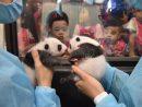 生後1ヶ月を迎え、地元の保育園児に披露された双子のパンダ=7月26日、マカオジャイアントパンダパビリオン(写真:IACM)