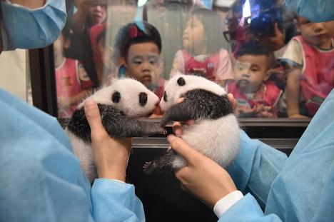 マカオ、パンダの双子が生後満1ヶ月迎える