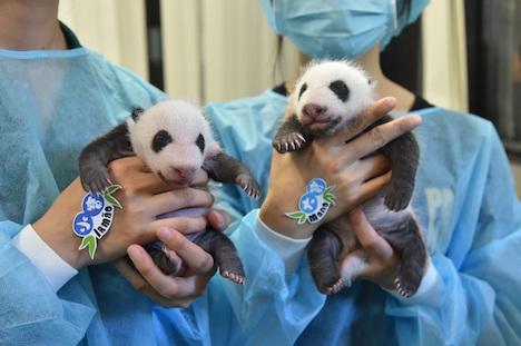マカオ、双子の赤ちゃんパンダの名前を市民から公募