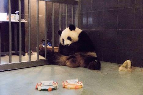 マカオのパンダ、メスのシンシンが9歳の誕生日迎える=出産後初
