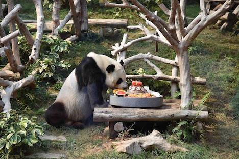 マカオのパンダ、オスのシンシンが8歳の誕生日迎える=双子の赤ちゃんパンダもすくすく成長