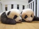 マカオの双子のオスの赤ちゃんパンダ「健健(Jian Jian)」と「康康(Kang Kang)」(写真:IACM)
