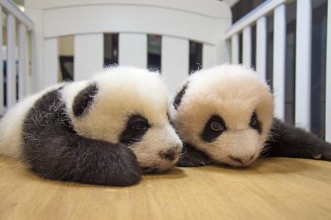 マカオ、双子の赤ちゃんパンダの名前「健健」と「康康」に決定=公募でトップ