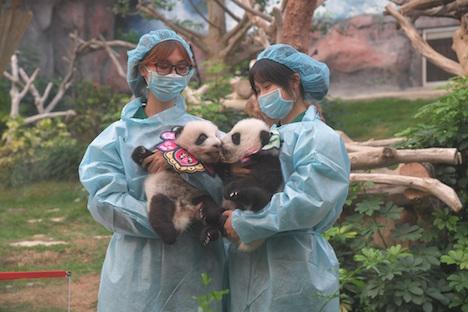 マカオ、双子の赤ちゃんパンダが生後満100日迎える=健健と康康の兄弟