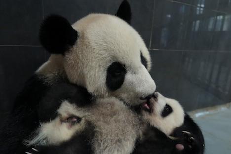マカオ、双子出産の母パンダの一般公開再開へ=4ヶ月半ぶり