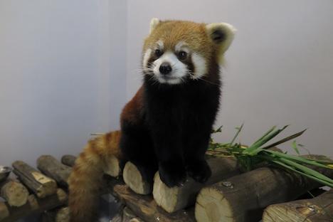 レッサーパンダがマカオに初到来=隔離検疫後に一般公開へ