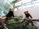 マカオで一般公開されるレッサーパンダのつがい(左がオスの烙烙、右がメスの燑燑)=マカオ・石排灣郊野公園(写真:IACM)