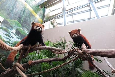 マカオ初…レッサーパンダ一般公開へ=12月19日から石排灣郊野公園で