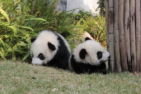 マカオ、双子の赤ちゃんパンダを両親と一緒に初の一般公開へ=春節シーズン限定