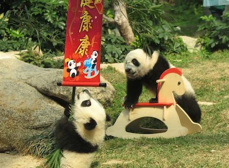 マカオの双子の赤ちゃんパンダ、毎週日曜午後に一般公開へ