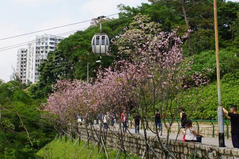 マカオのサクラが見頃迎える…華南の気候に適した品種「広州桜」