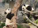 マカオの双子の赤ちゃんパンダ、兄の健健(右)と弟の康康(左)=2017年2月-本紙撮影