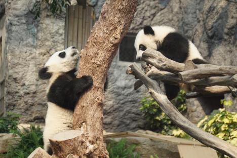 マカオの双子の赤ちゃんパンダ、一般公開時間拡大=休館日除く毎日午後の2時間に