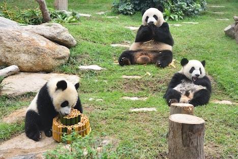 マカオのパンダ、メスのシンシンが10歳の誕生日迎える=双子ベビーと一緒にお祝い
