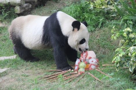 マカオのパンダ、オスのカイカイが9歳の誕生日迎える