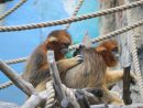 2017年12月16日から一般公開されるゴールデンモンキーのつがい(左がオス、右がメス)=石排灣郊野公園希少動物館(写真:IACM)