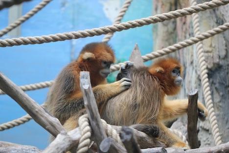 マカオ・石排灣郊野公園でゴールデンモンキーの一般公開まもなくスタート…孫悟空のモデルとして知られる希少動物