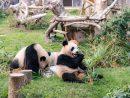 2歳の誕生日を迎えた双子のオスのジャイアントパンダの健健(左)と康康(右)=2018年6月26日(写真:IACM)