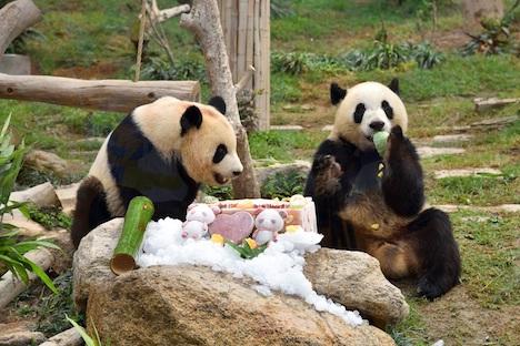 3歳の誕生日を迎えた双子のオスのジャイアントパンダの健健と康康=2019年6月26日(写真:IAM)