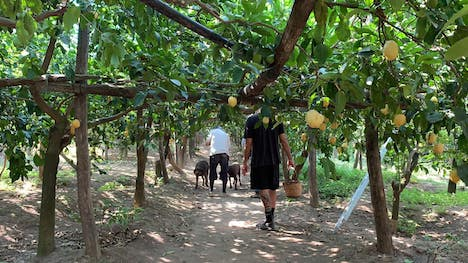 伊サンタガタにあるアルフォンソファミリーの自家農場「レ・ペラッチョーレ」(写真:Grand Lisboa Hotel)